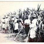 Women & children in the QLD sugar fields