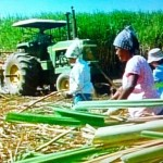 Shireen Malamoo - stripping cane